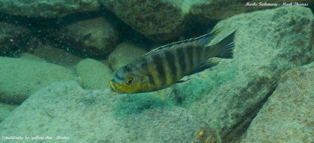 Petrotilapia sp. 'yellow chin'