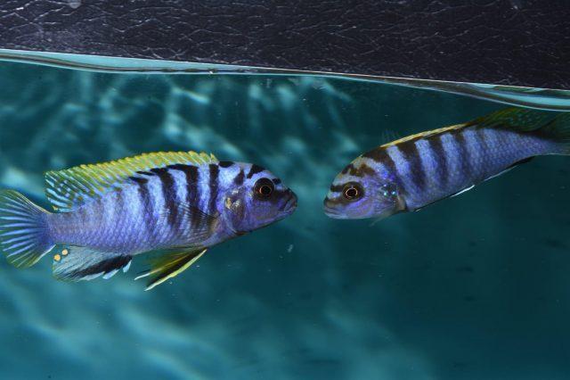 Pseudotropheus sp. 'perspicax tanzania'