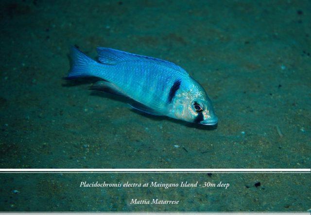 Placidochromis electra Maingano Island