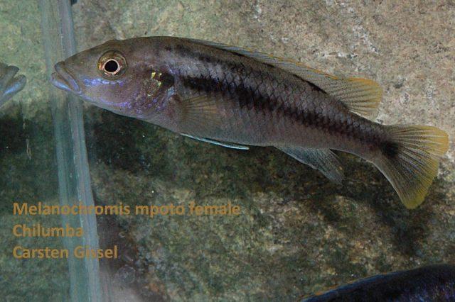 Melanochromis mpoto Chilumba