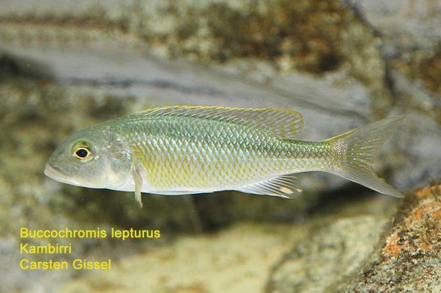 Buccochromis lepturus Kambiri Point