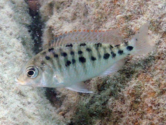 Protomelas virgatus Namalenje Island (samice-female)