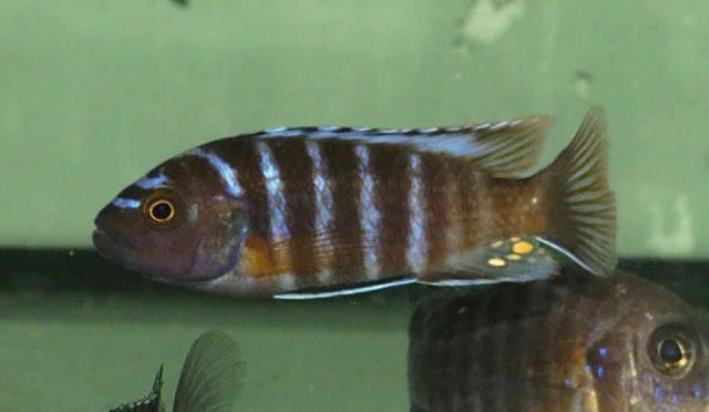 Iodotropheus sp. 'londo'