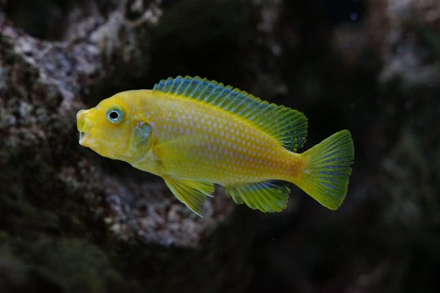 Metriaclima sp. 'msobo heteropictus' (samice)