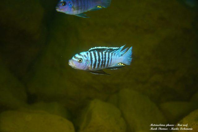 Metriaclima phaeos Hai Reef