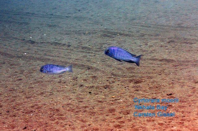Cyrtocara moorii Nkhata Bay
