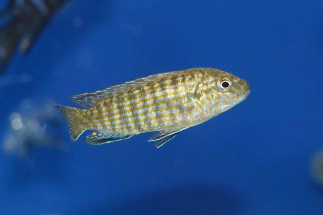 Labidochromis flavigulis Machili Island (samec)