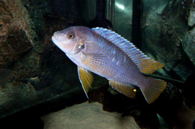 Pseudotropheus sp. 'aggressive yellow fin' (samec)