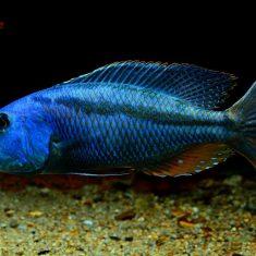 Aristochromis christyi