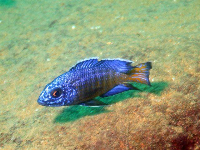 Aulonocara stuartgranti Mdoka Reef