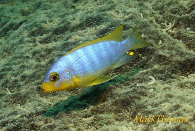 Metriaclima aurora Mitande Reef