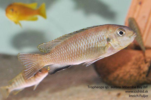 Tropheops sp. 'aurora' Mbamba Bay (samice)