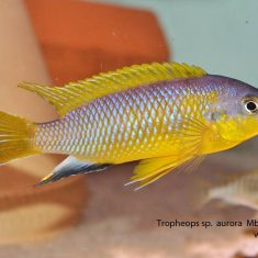 Tropheops sp. 'aurora'