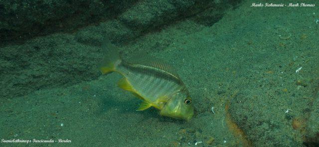 Taeniolethrinops furcicauda (samec)
