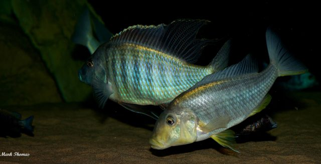 Taeniolethrinops furcicauda (samec a samice)
