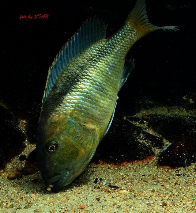 Buccochromis nototaeniae (samice)