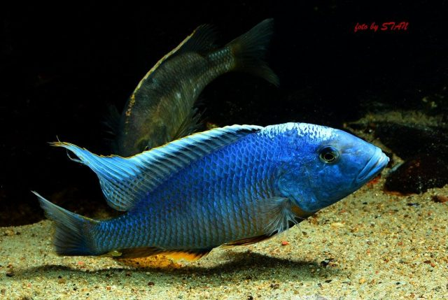 Buccochromis nototaeniae (samec)