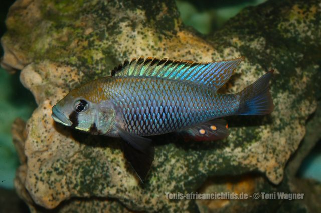 Astatotilapia calliptera (samec)