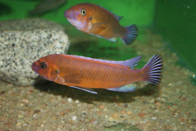 Labeotropheus trewavasae Chilumba (samec)