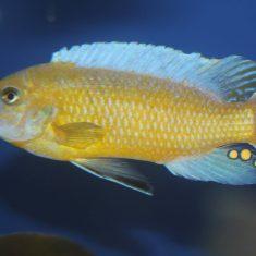 Labeotropheus simoneae