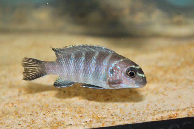 Tropheops sp. 'elongatus chizumulu' (samice)