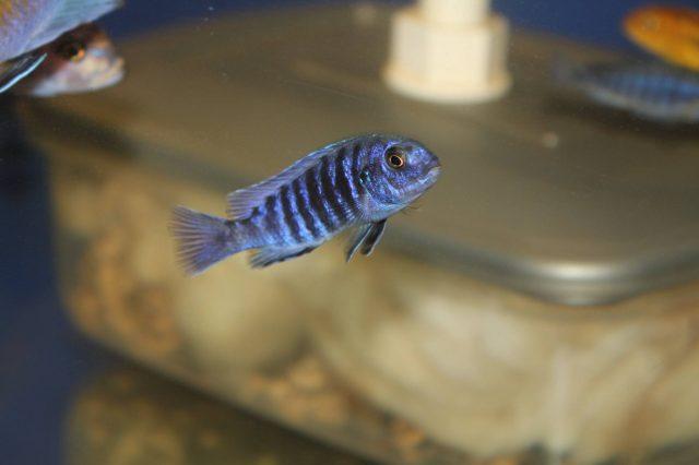 Labidochromis freibergi