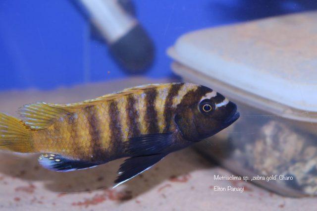 Metriaclima sp. ,zebra gold' Charo