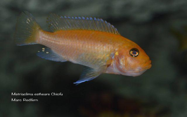 Metriaclima estherae Chiofu (samice)