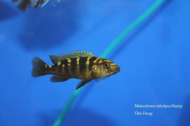 Melanochromis baliodigma (samec)