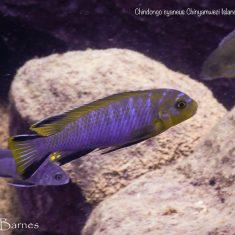 Chindongo cyaneus