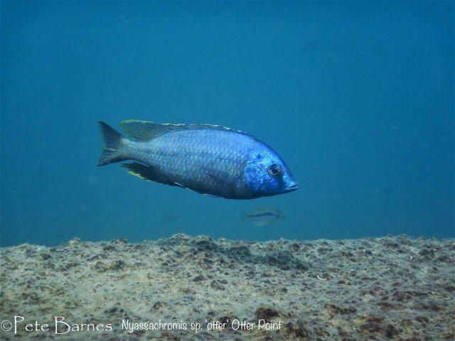 Nyassachromis sp. 'otter'