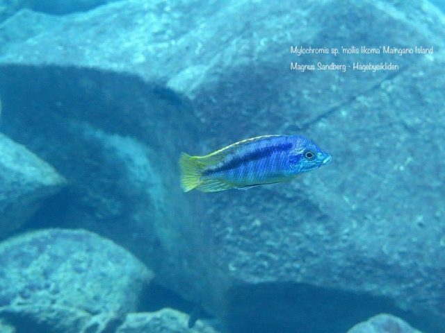Mylochromis sp. 'mollis likoma' Maigano Island