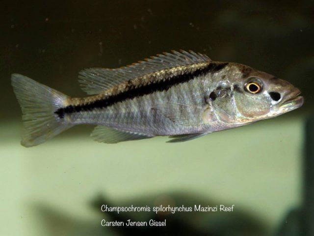 Champsochromis spilorhynchus