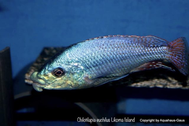 Chilotilapia euchilus Likoma Island