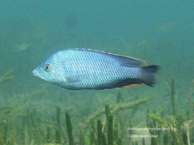 Hemitilapia oxyrhynchus