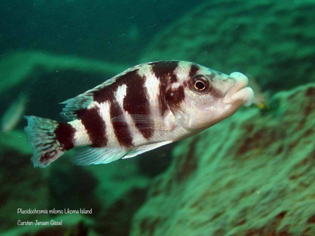 Placidochromis milomo