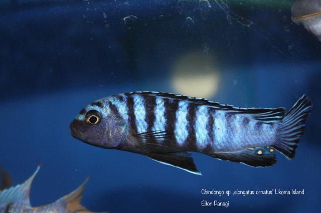Chindongo sp. ,elongatus ornatus' (samec)