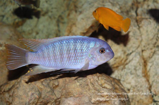 Labeotropheus fuelleborni (13)