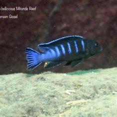 Chindongo bellicosus