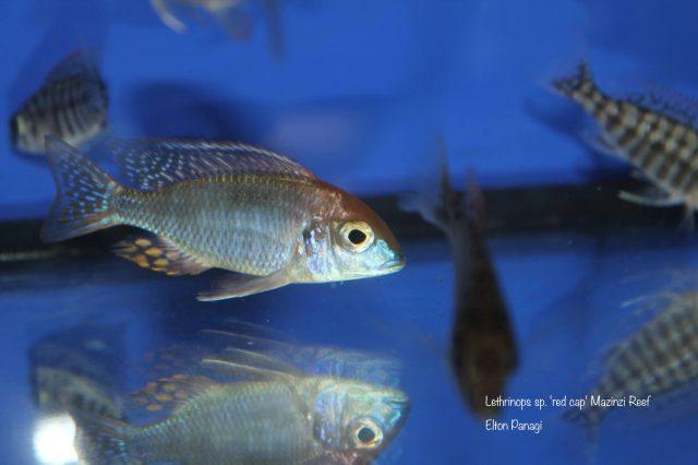 Lethrinops sp. 'red cap tsano' Mazinzi Reef
