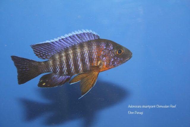 Aulonocara stuartgranti Chimwalani Reef