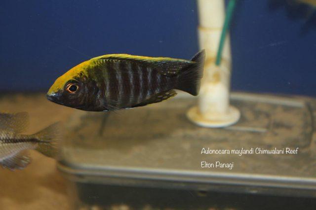 Aulonocara maylandi Chimwalani Reef (Eccles Reef)