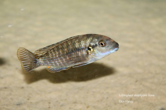 Iodotropheus stuartgranti Gome (samice)