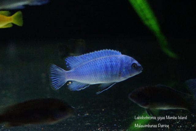Labidochromis gigas Membe Island