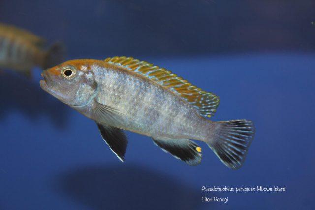 Pseudotropheus perspicax
