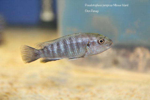 Pseudotropheus perspicax Mbowe Island (samice)