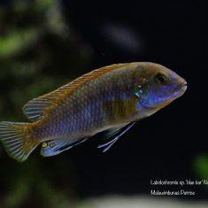 Labidochromis sp. 'blue bar'