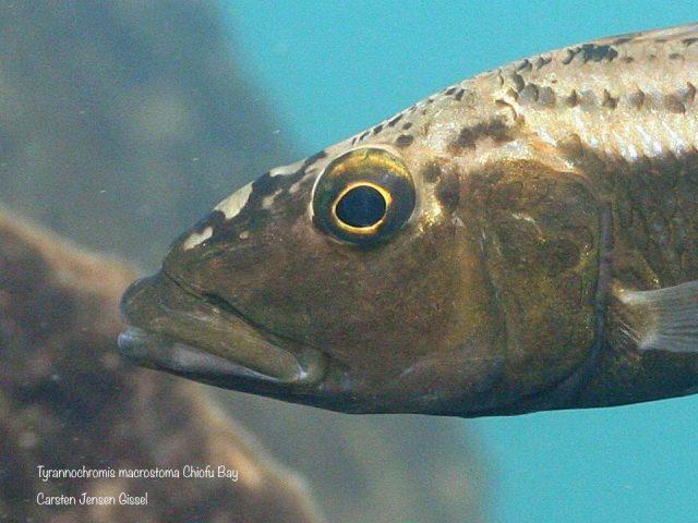Tyrannochromis macrostoma Chiofu Bay