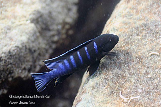 Chindongo bellicosusMitande Reef