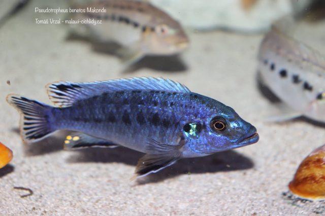 Pseudotropheus benetos Makonde (samec)
